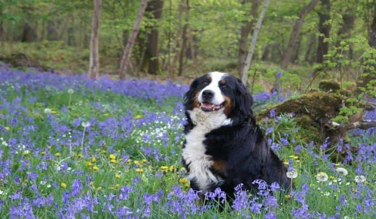 Bouvier Bernois : Tout savoir sur cette race de chien