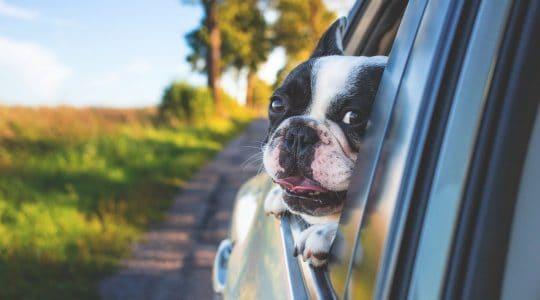 chien en voiture